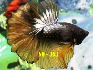 Fancy Halfmoon Betta #No-363 For Sale