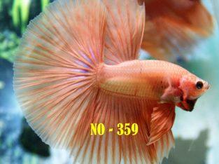 Orange Halfmoon Betta #No-359 For Sale