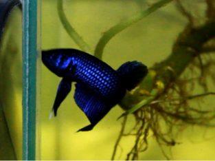 Wild Mahachai hybrid blue (No.1)