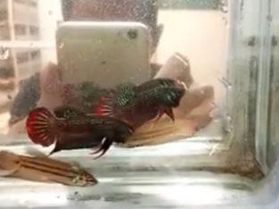 Betta Imbelis – Wild Betta Fish For Sale