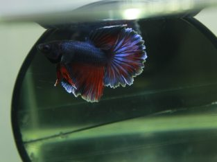 HM rose tail red blue .
