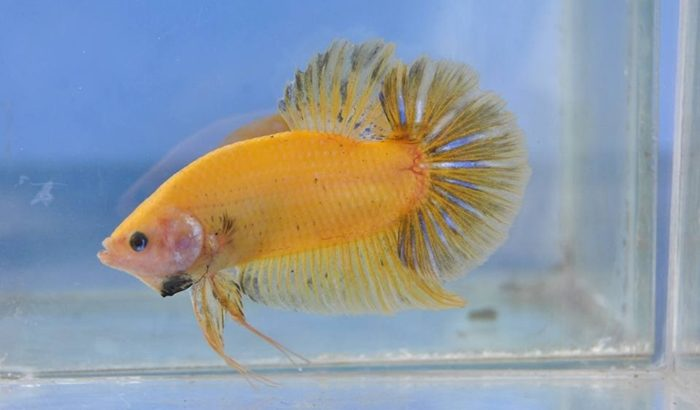 Pair Yellow Fancy Giant Betta Fish For Sale