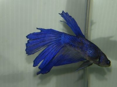 Cause betta tail rot and betta fin rot. How to protect and How to treatment.