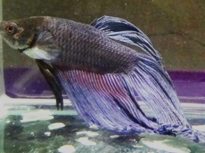 Diseases of betta fish and how to treat