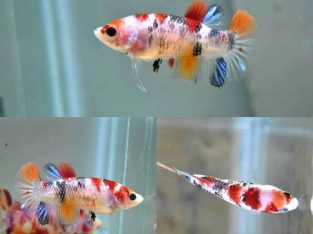 Female Koi HMPK – Female betta fish for sale