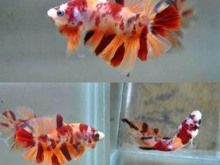 Nemo Koi HMPK – Koi Betta Fish
