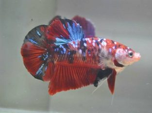 Red Koi Galaxy Giant Betta Fish For Sale – Indonesia Seller