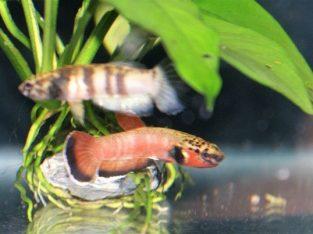 Pair betta chanoides for breeding