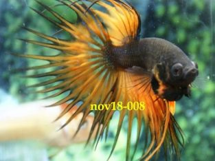 Black Orange Crowntail Betta #nov18-008