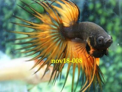 Black Orange Crowntail Betta #nov18-008