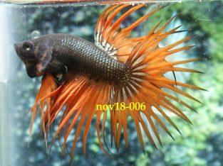 Dark Orange Crowntail Betta #nov18-006