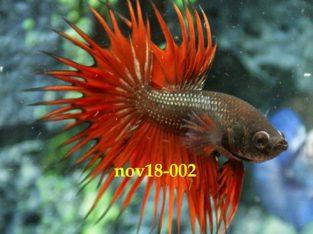 Dark Red Crowntail Betta #nov18-002