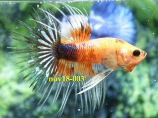 Fancy Crowntail Betta #nov18-003 – Fancy Betta Fish