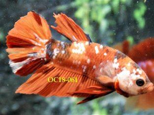 Nemo Fancy HMPK #OC18-061 – Fancy Betta Fish