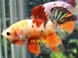 Nemo Fancy HMPK #OC18-068 – Fancy Betta Fish