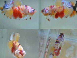 Pair Fancy Koi HMPK – Koi Betta Fish