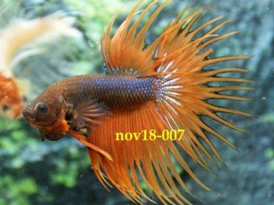 Fancy Orange Crowntail Betta #nov18-007 – Fancy Betta Fish