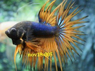 Fancy Orange Crowntail Betta #nov18-005 – Fancy Betta Fish