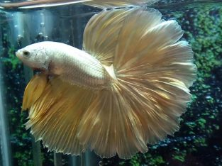 Grade A Gold Halfmoon Betta Medium Size