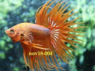 Orange Crowntail Betta #nov18-004 – Orange Betta Fish