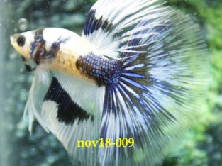 White Blue Halfmoon Betta #nov18-009 For Sale