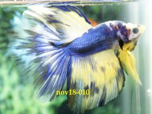 Blue White Halfmoon Betta #nov18-010 For Sale
