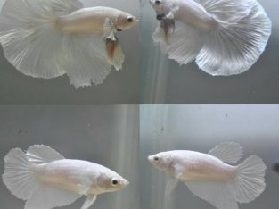 Pair white halfmoon betta for sale – white betta fish
