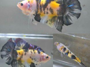 Yellow Koi Giant Betta Fish For Sale