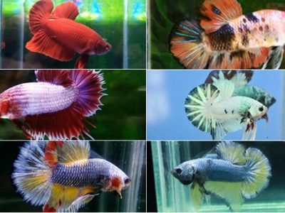Betta fish colors and pattern color of betta fish
