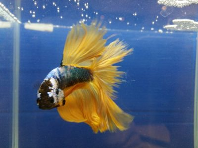 How long do betta fish live and length average when betta fish grown up.