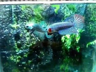 Blue and Grey Hybrid Wild Betta Fish for sale