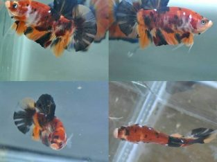 Nemo Koi Giant Betta Fish Body 4.3 cm