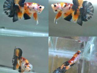Koi Giant Betta Fish Body 4 cm+