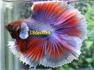 Lavender Halfmoon Double tail Betta #18dec014