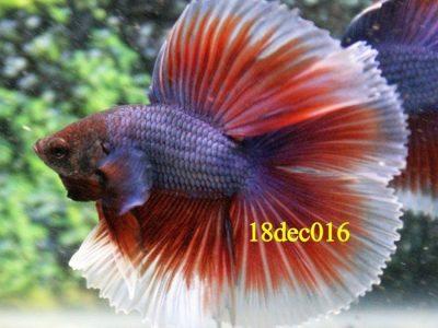 Lavender Halfmoon Double tail Betta #18dec016