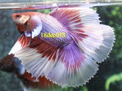 Lavender Halfmoon Double tail Betta #18dec018