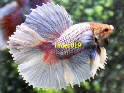 Lavender Halfmoon Double tail Betta #18dec019
