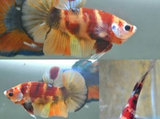 Nemo Koi Giant Betta Fish Body 4 cm