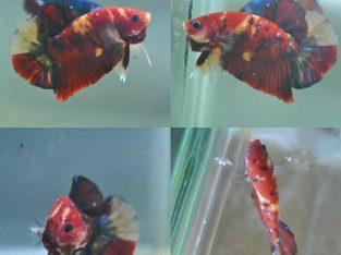 Red Koi Giant Betta Fish body 4 cm