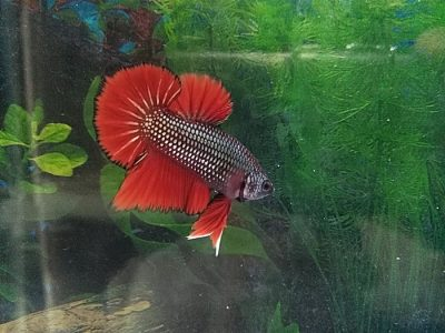 How to take care betta fish (siamese fighting fish)