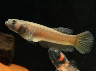 Betta macrostoma size 8 cm+ Video available