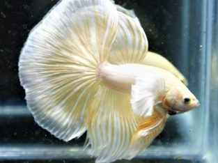 Big ear gold halfmoon betta