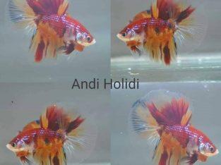Candy koi halfmoon betta Good form & colors
