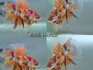 Candy koi halfmoon betta for sale