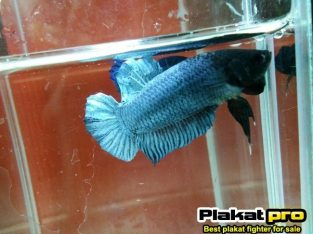 Betta Fighter for long game #P-264