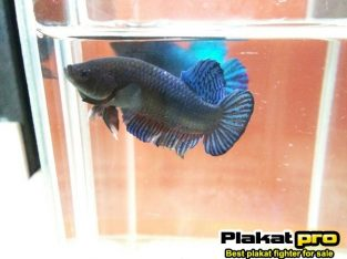 Best betta fighter for sale #P-265 – Available in pond 46 fish