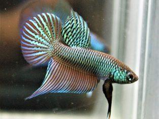 Green smaradigna betta fish for sale