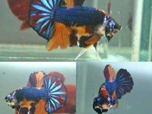 Multicolor betta fish for sale – Medium size