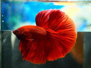 Red halfmoon betta for sale from Thailand seller