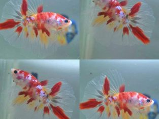 Red koi halfmoon betta for sale